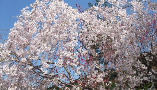 2019  高知の花見スポット~あちこち高知の桜・花桃~(その1)