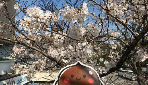 桜が見頃です(≧▽≦)