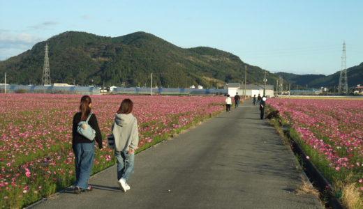 2018  高知市高須のコスモス 今年も綺麗に咲いています